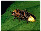 Luciérnagas-Seis patas tiene la vida-cienciaes.com