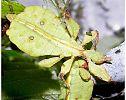Insecto hoja-Seis patas tiene la vida