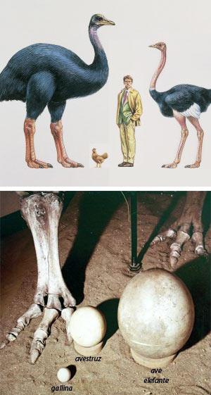 Ave elefante - Zoo de Fósiles podcast - cienciaes.com