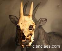 Cabra enana balear