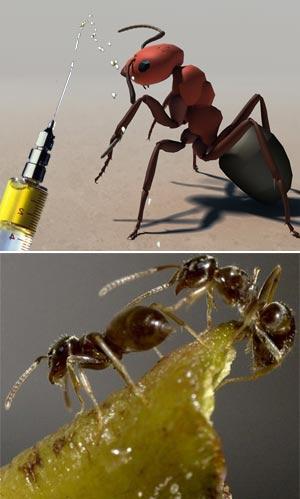 Hormigas y vacunas - Quilo de Ciencia podcast - cienciaes.com