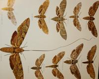 Epiritrompa más larga - Seis patas tiene la vida - Cienciaes.com