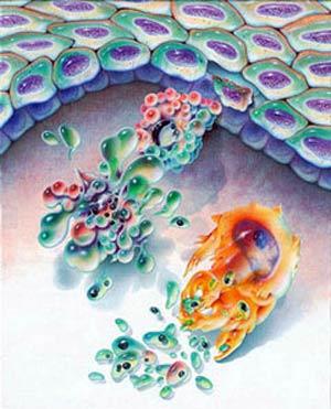 Muerte celular - Quilo de Ciencia - Cienciaes.com