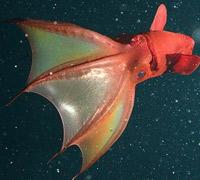 Vampyroteuthis infernalis - El Neutrino podcast - Cienciaes.com