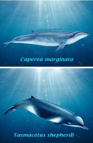 Ballenas fósiles vivientes - El Neutrino podcast - Cienciaes.com