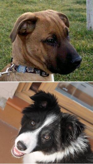Cuando el gen aprieta al can - Quilo de Ciencia - Cienciaes.com