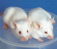 Flora, hormonas y diabetes - Quilo de Ciencia - Cienciaes.com