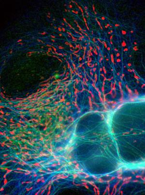 Mitocondrias - Quilo de Ciencia podcast - Cienciaes.com