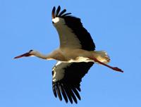 Aves migratorias - Ulises y la Ciencia podcast - Cienciaes.com