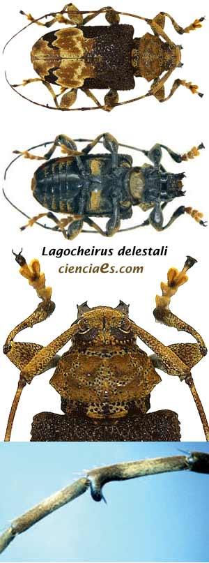 Lagocheirus delestali - Seis patas tiene la vida (cienciaes.com)