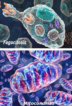 Bacterias y mitocondrias - Quilo de Ciencia podcast - CienciaEs.com