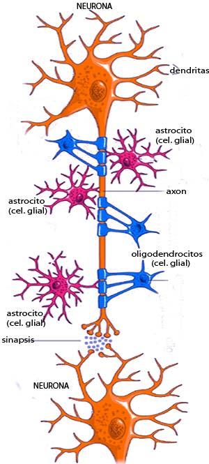 Células gliales. Cierta Ciencia podcast - Cienciaes.com