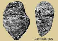 Helicoplacus, la peonza marina