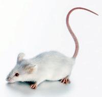 Ratón resistente al cáncer - Quilo de Ciencia Podcast - Cienciaes.com