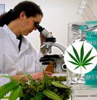 Cannabis, una planta con muchos efectos - Cierta Ciencia Podcast - CienciaEs.com