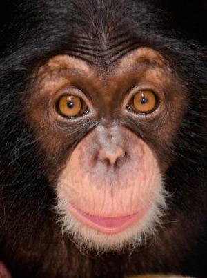 Mente maravillosa de los chimpancés - Quilo de Ciencia Podcast - CienciaEs.com