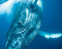 El misterio de la ballena jorobada - Océanos de Ciencia podcast - Cienciaes.com