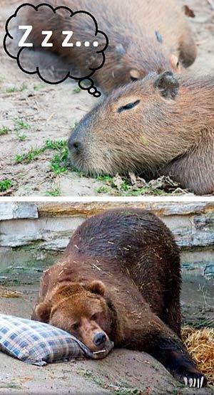La ciencia de la marmota. Quilo de Ciencia podcast - Cienciaes.com