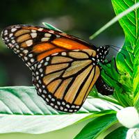 La magnética orientación de las Monarcas - Quilo de Ciencia podcast - Cienciaes.com