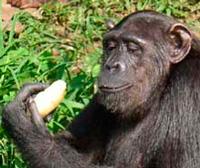 Ébola, desayuno del chimpancé y origen del agua. Podcast Ciencia Fresca - CienciaEs.com