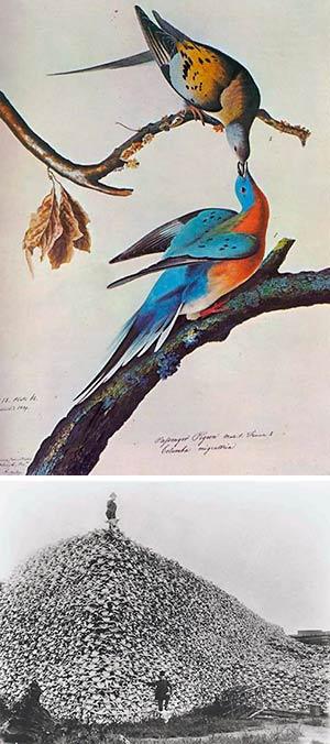Cien años sin palomas migratorias - Podcast Zoo de Fósiles - CienciaEs.com