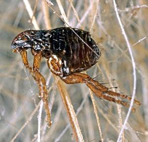 Peste, pulgas y urea - Quilo de Ciencia podcast - CienciaEs.com
