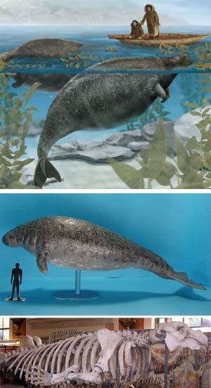 Vaca marina de Steller -Zoo de fósiles - cienciaes.com