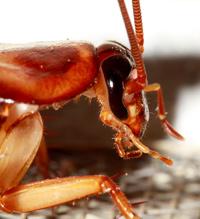 Vista de lince de las cucarachas - Quilo de Ciencia podcast - CienciaEs.com