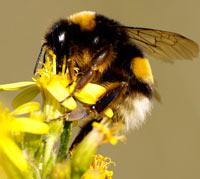 La extinción de los abejorros sureños - Quilo de Ciencia Podcast - CienciaEs.com