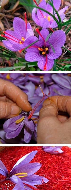 Química en la flor del azafrán - Hablando con científicos podcast - CienciaEs.com