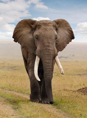 """Por qué los elefantes no tienen cáncer. - Podcast """"Quilo de Ciencia"""" - CienciaEs.com"""