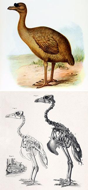 Solitario de Rodrigues - Zoo de fósiles podcast - CienciaEs.com