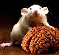 Células madre neuronales. - Cierta Ciencia Podcast - CienciaEs.com