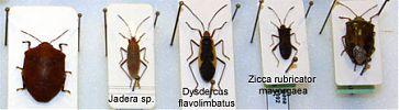 chinches 2 - Seis patas tiene la vida - cienciaes.com