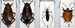 chinches 4 - Seis patas tiene la vida - cienciaes.com