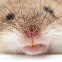 Ratones con súper narices. Doble ataque contra el SIDA - Quilo de Ciencia - CienciaEs.com