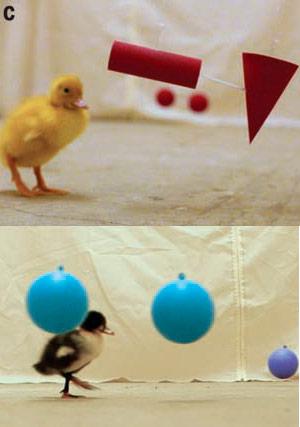 Conceptos casi innatos que tienen los patos - Quilo de Ciencia podcast - CienciaEs.com