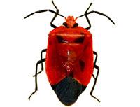 Chinches y cucarachas - Seis patas tiene la vida - cienciaes.com
