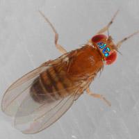 Visualización del estado mental de una mosca.- Quilo de Ciencia podcast - CienciaEs.com