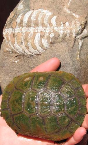 Eunotosaurus, la primera tortuga - Zoo de fósiles podcast - CienciaEs.com