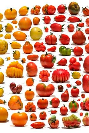 Sabor a tomate. ´- Podcast Hablando con Científicos - CienciaEs.com