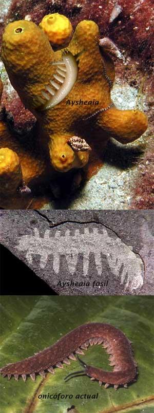 Aysheaia - Zoo de fósiles - cienciaes.com