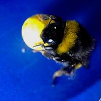 La inteligencia del abejorro - Quilo de Ciencia podcast - CienciaEs.com