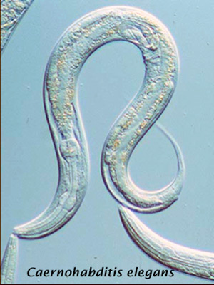 Probióticos y longevidad - Quilo de Ciencia podcast - CienciaEs.com