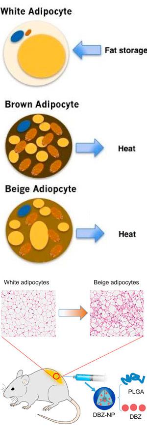 Nanopartículas antiobesidad - Quilo de Ciencia - CienciaEs.com