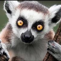 Lémures - Zoo de Fósiles podcast - CienciaEs.com