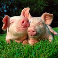 Cerdos transgénicos resistentes al frío - Quilo de Ciencia podcast - CienciaEs.com
