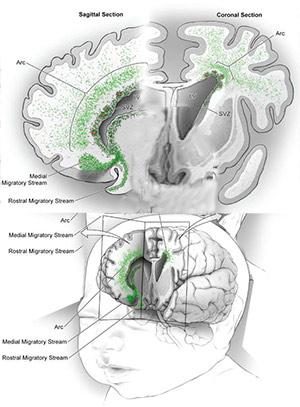 Aprendiendo del cerebro - Cierta Ciencia podcast - CienciaEs.com