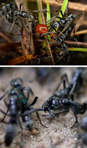 Hormigas enfermeras