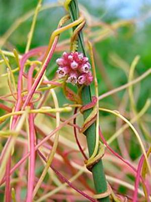 Plantas parásitas - Quilo de Ciencia podcast - CienciaEs.com